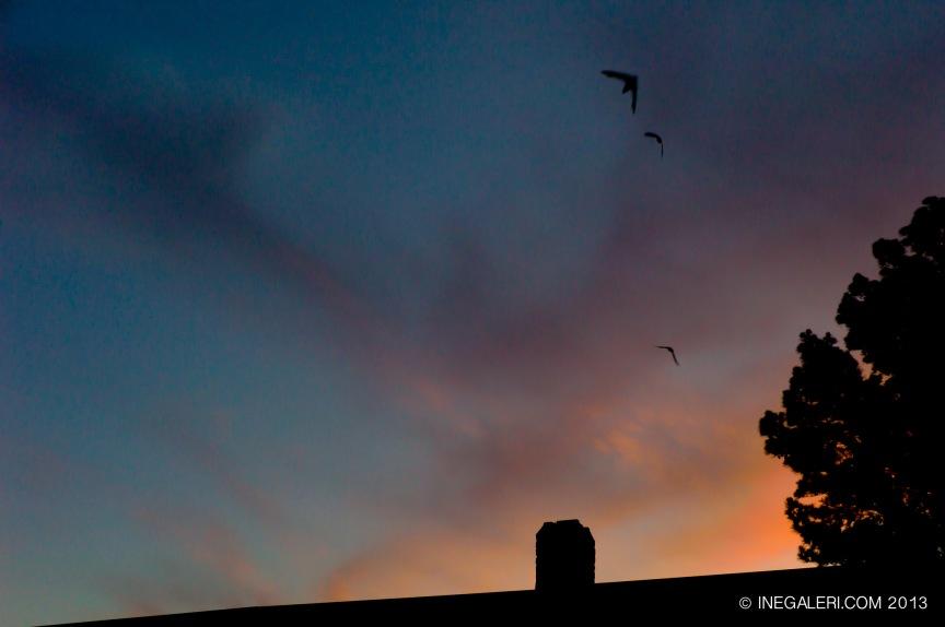 ChimneySwifts-IneBurke-6