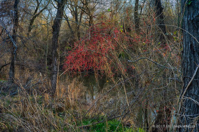 Possumhaw Berries January | IB-1