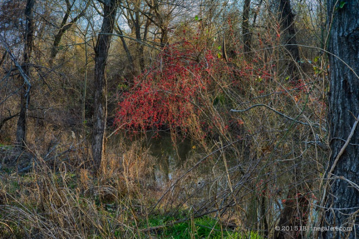 Possumhaw Berries January   IB-1