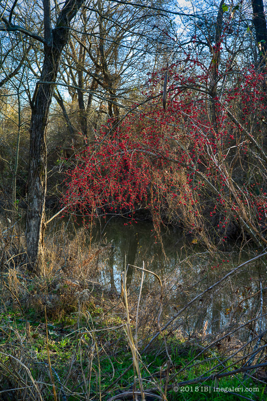 Possumhaw Berries January | IB-2