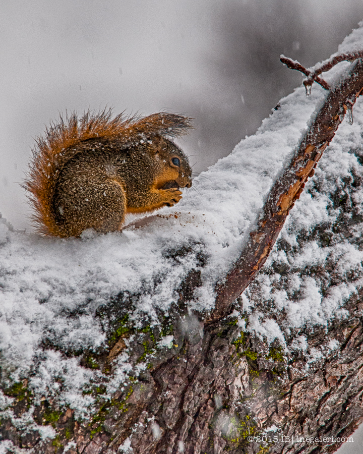 Juvenile Squirrel in Snow