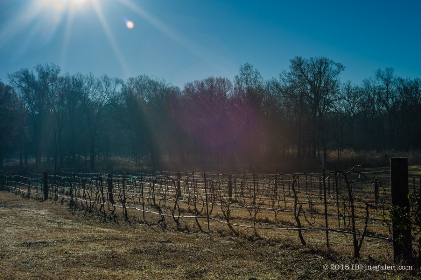 Vineyard in morning | Feb 2015-1