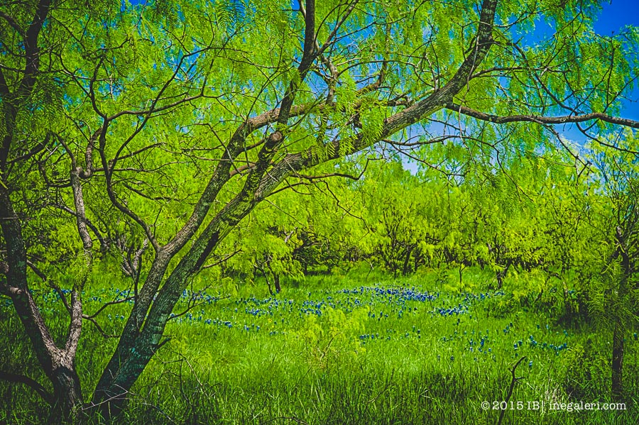 Patches of blue bonnet among mesquite trees