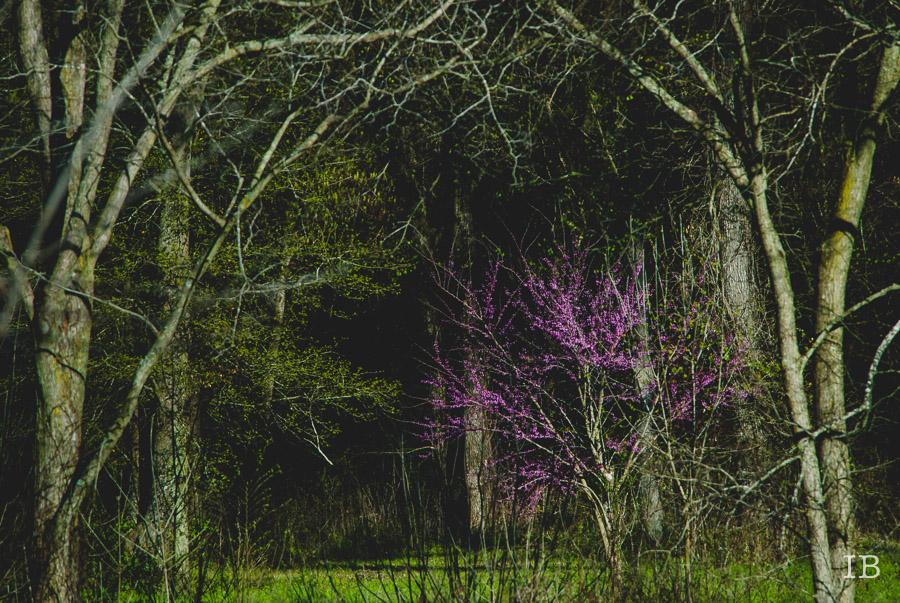 Red Bud Tree 2015 |IB-1