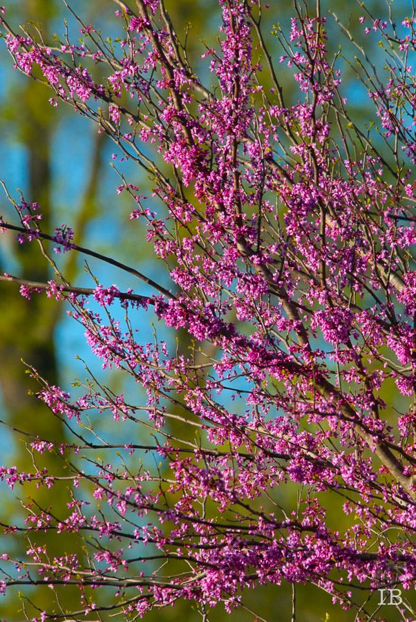 Red Bud Tree 2015 |IB-18