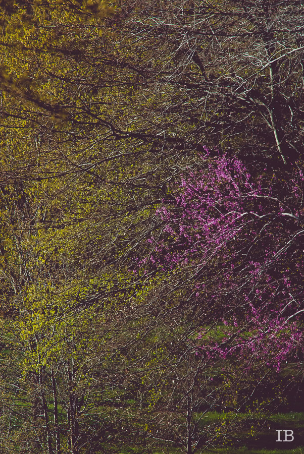Red Bud Tree 2015 |IB-3