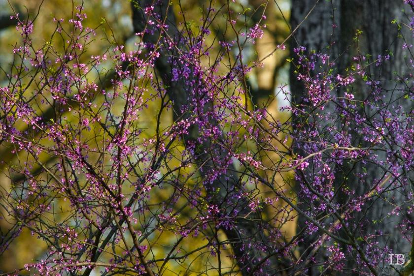 Red Bud Tree 2015 |IB-4