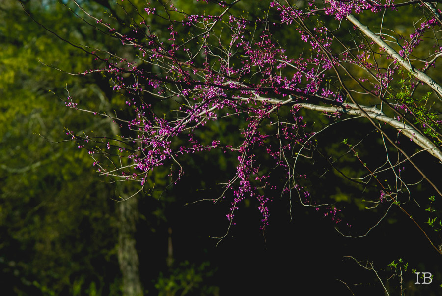 Red Bud Tree 2015 |IB-5