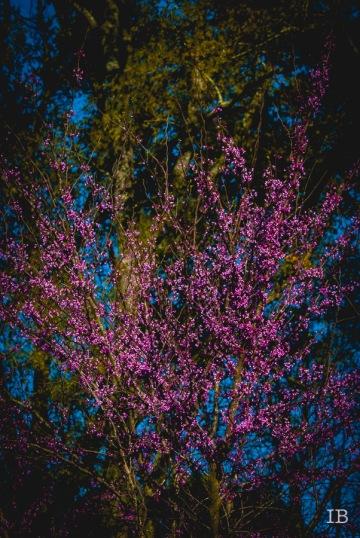 Red Bud Tree 2015  IB-6
