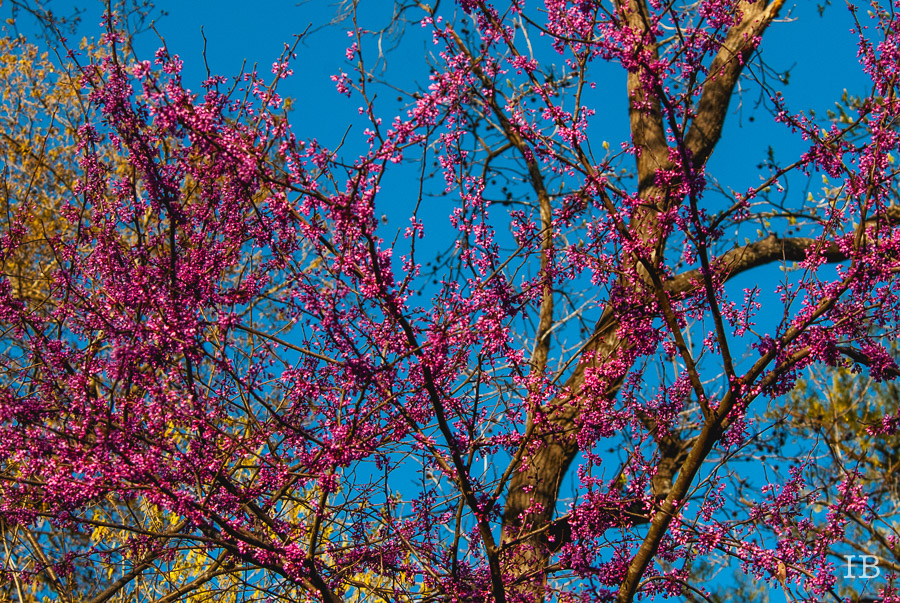 Red Bud Tree 2015 |IB-7