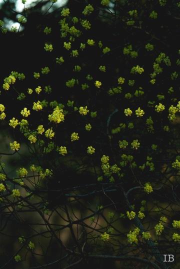 Sassafras Tree 2015  IB-13