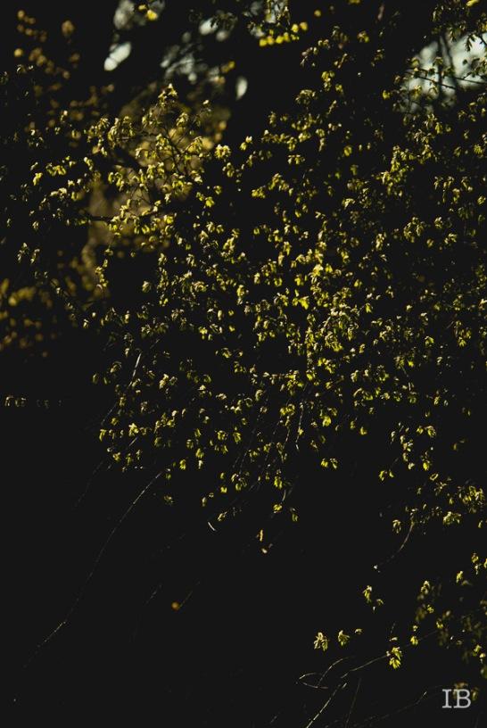 Spring Tree 2015 |IB-11
