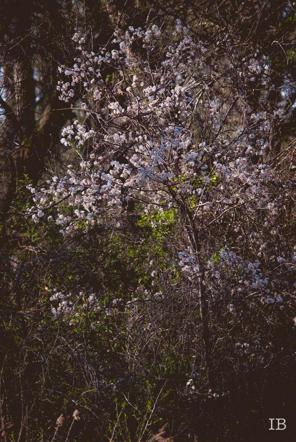 Wild Tree 2015 |IB-15