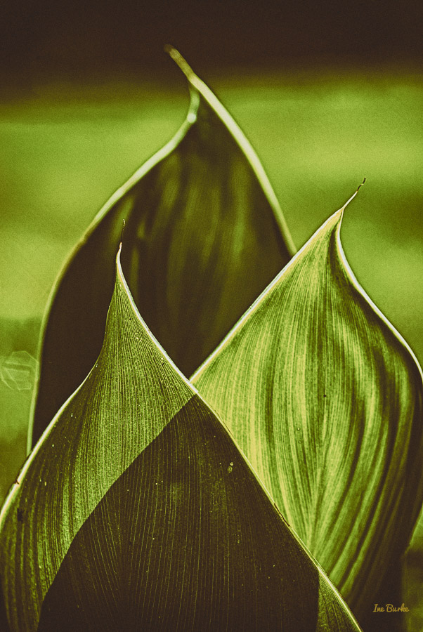 Canna Lily Leaf-1