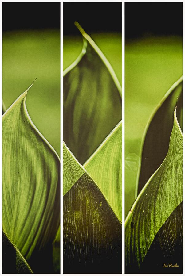 Canna Lily Leaf-2