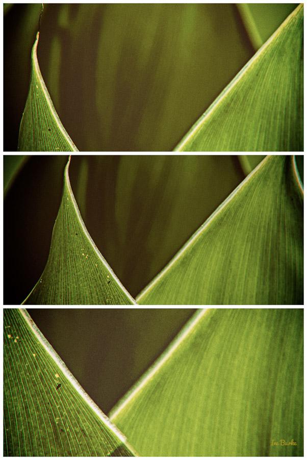 Canna Lily Leaf-3