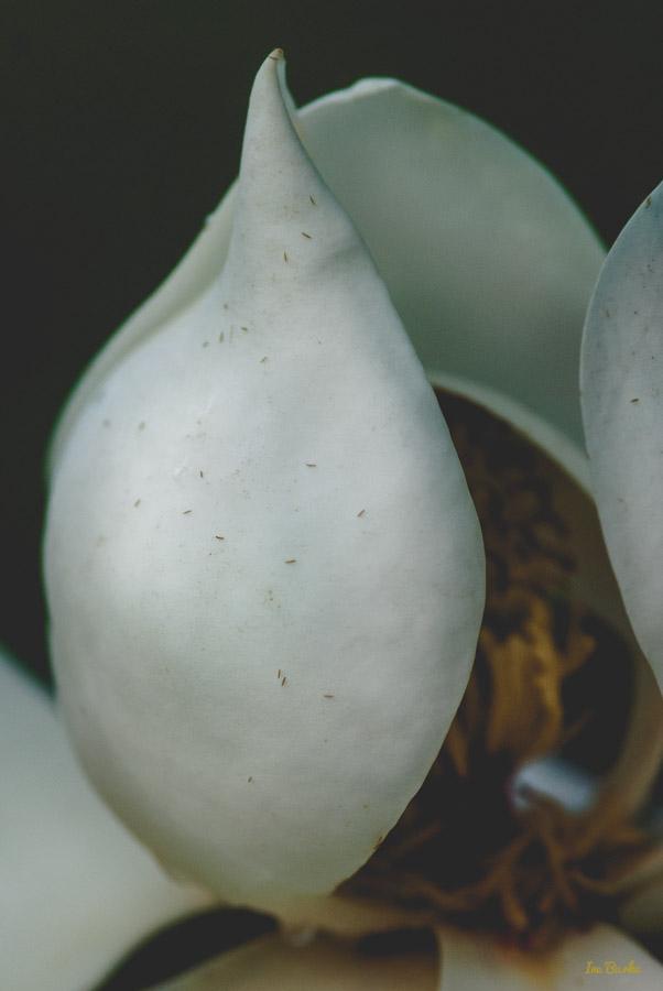 Magnolia by Ine Burke-1