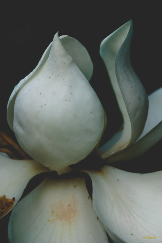Magnolia by Ine Burke-2