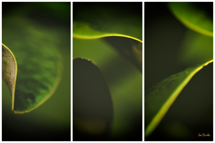Magnolia Leaf by Ine Burke-2