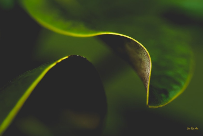 Magnolia Leaf by Ine Burke-3