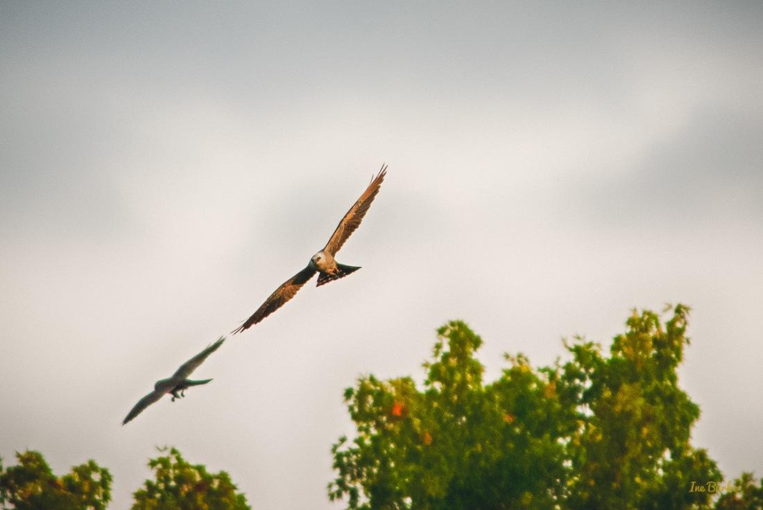 20150819-149_0067_Hawk Flights