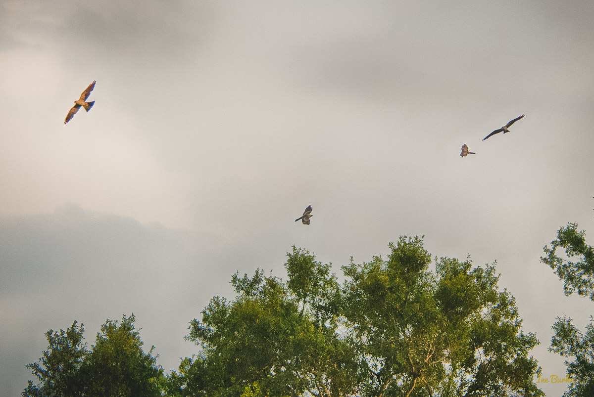 20150819-149_0073_Hawk Flights