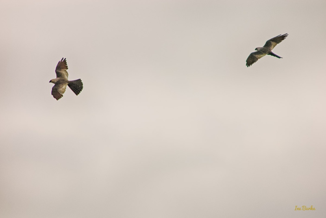 20150819-149_0076_Hawk Flights