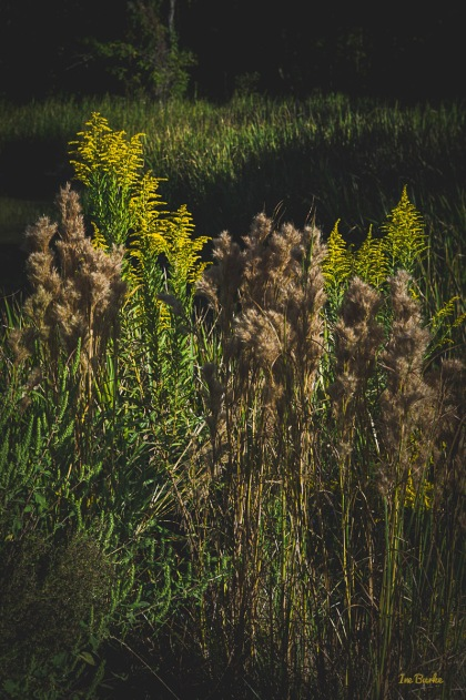 Golden Rods