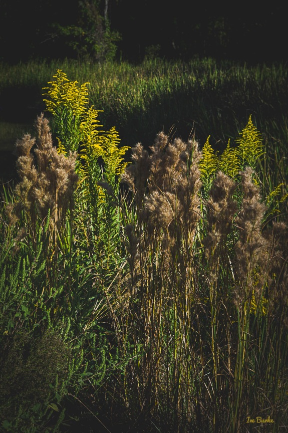 151010-L1012061-Golden Rod1