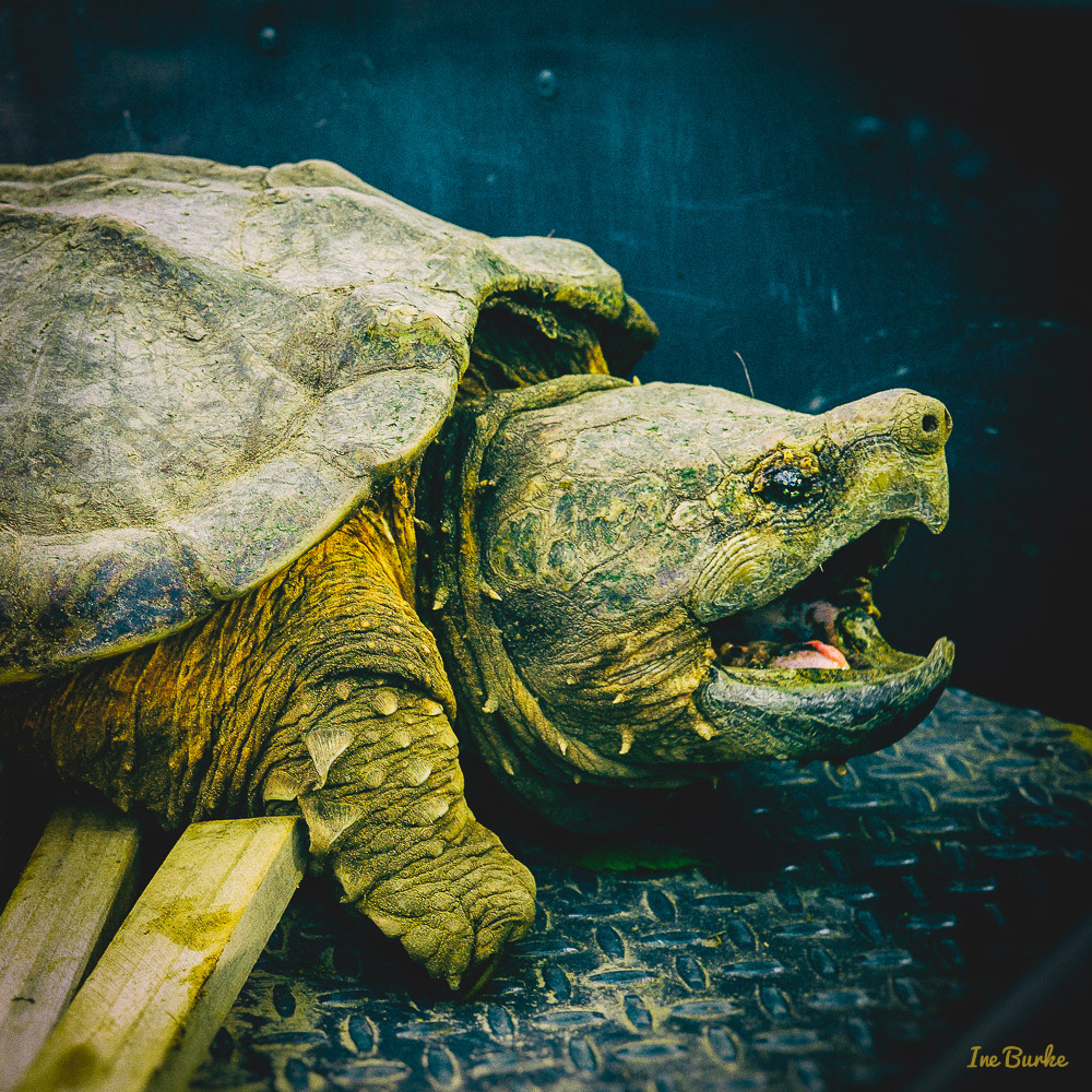 Snapping Turtle-120427-L1002975