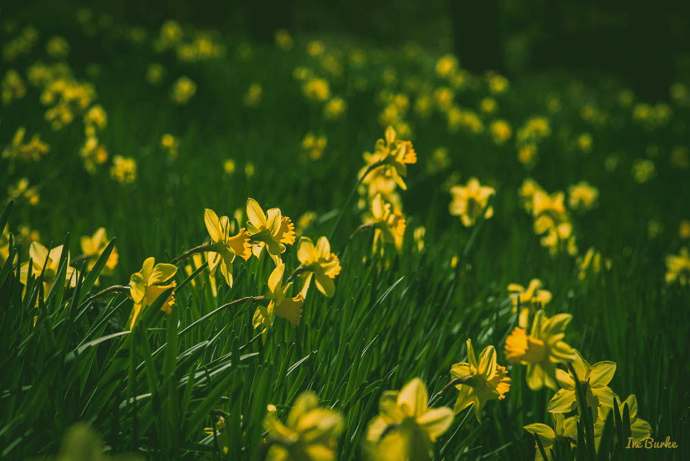 Mrs Lee Daffodil-160227-158_0015