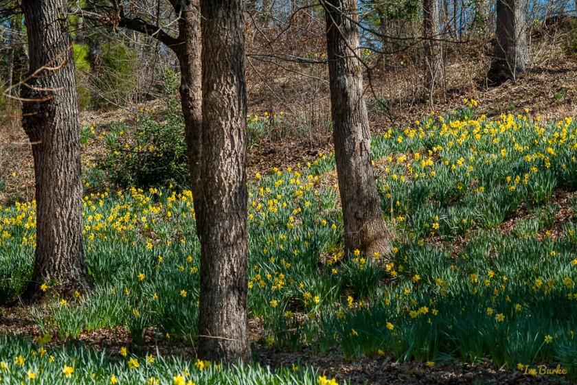 Mrs Lee Daffodil-160227-158_0024