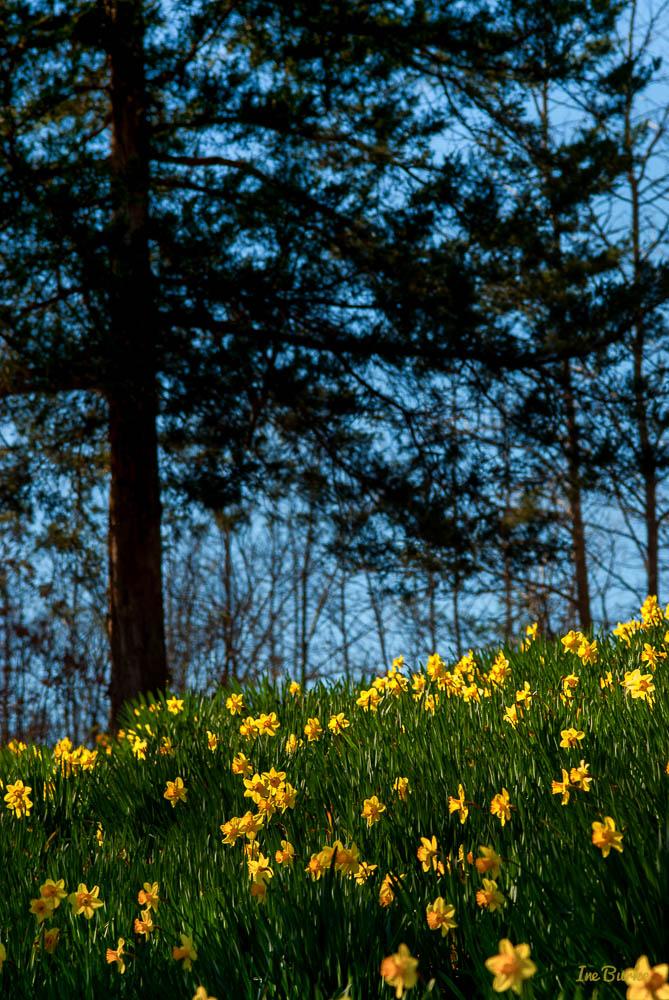 Mrs Lee Daffodil-160227-158_0038