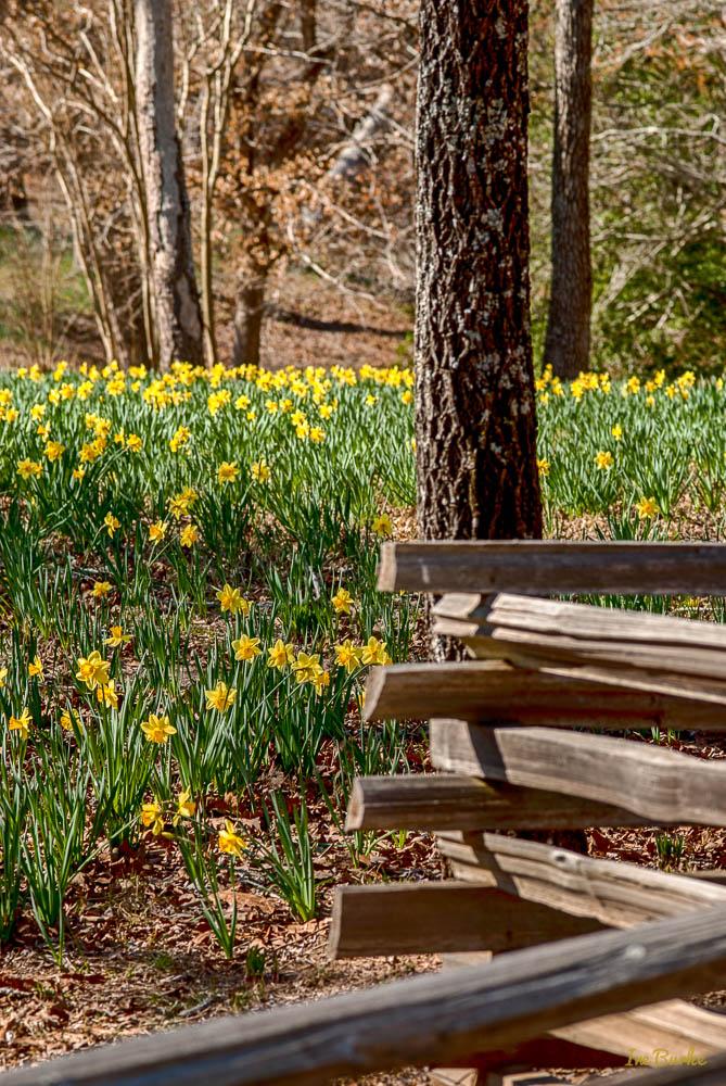 Mrs Lee Daffodil-160227-158_0039