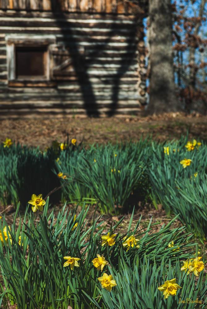 Mrs Lee Daffodil-160227-158_0047
