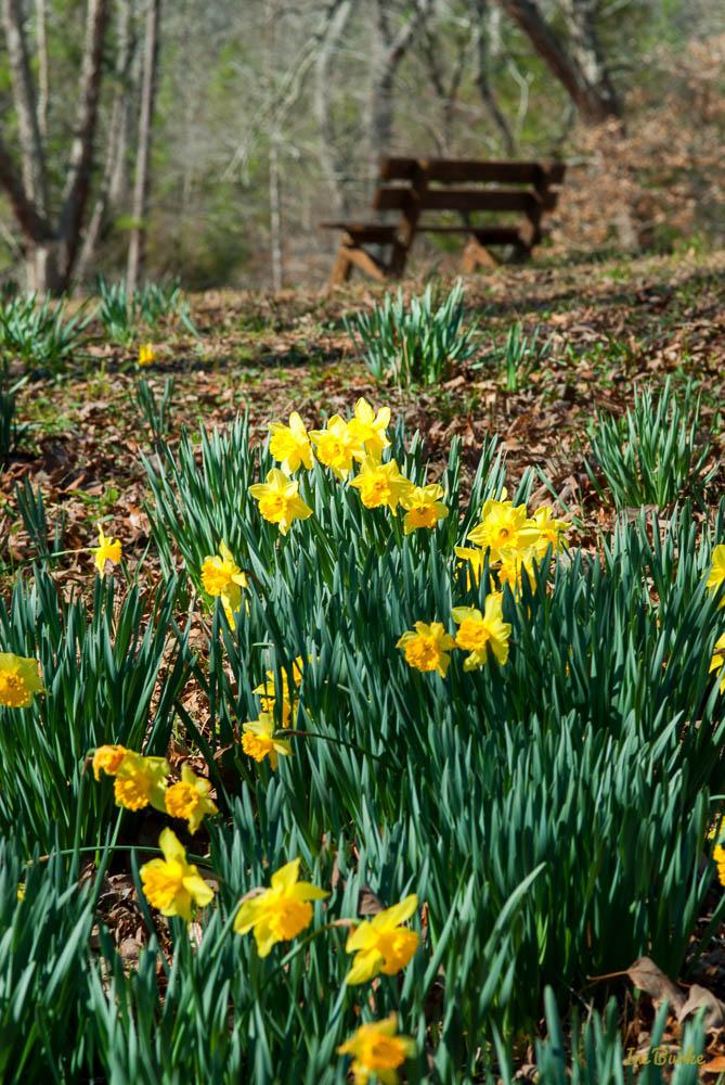 Mrs Lee Daffodil-160227-158_0053